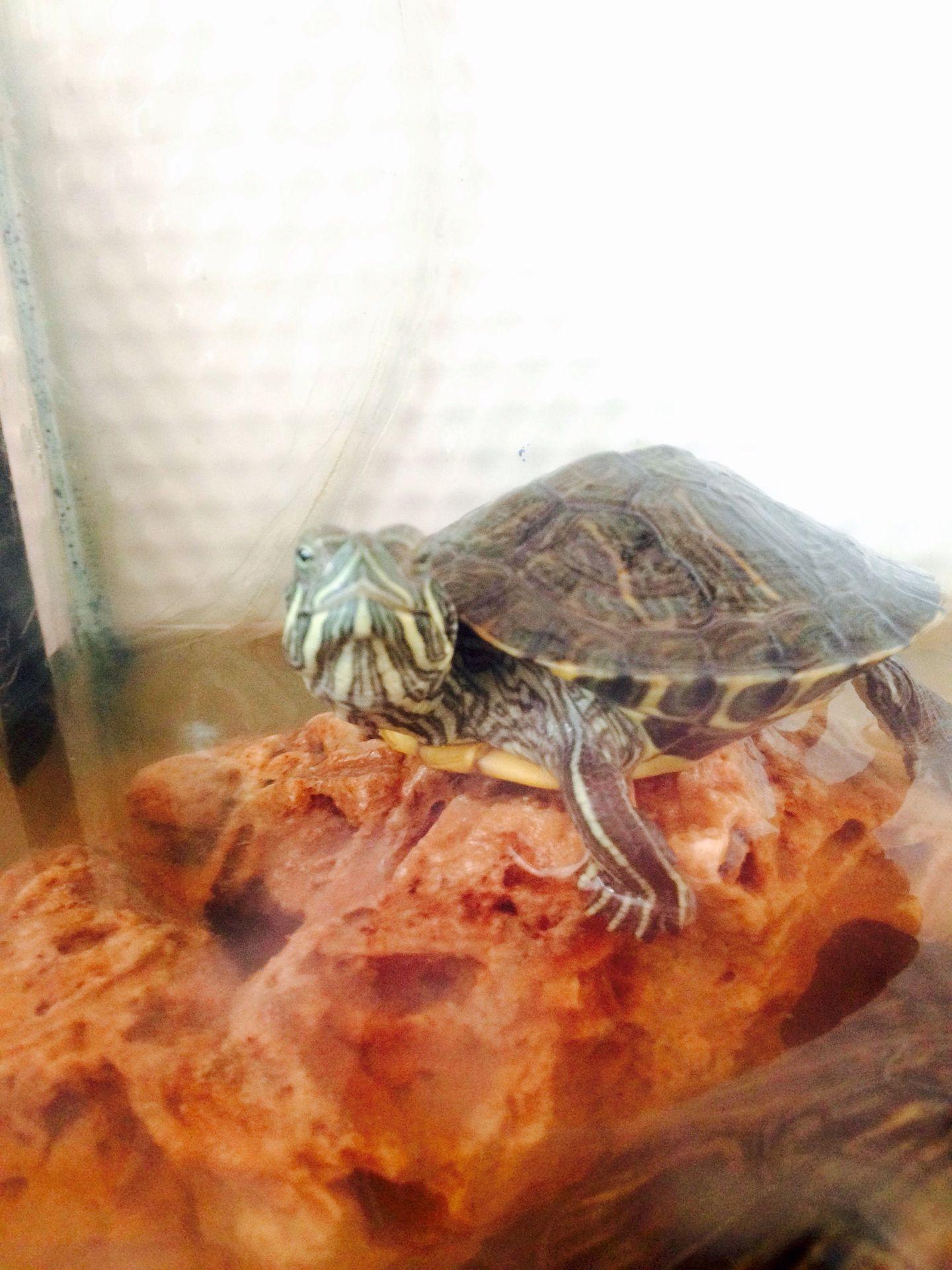Kırmızı Yanaklı Su Kaplumbağalar Kaplumbağa Isimleri Wattpad