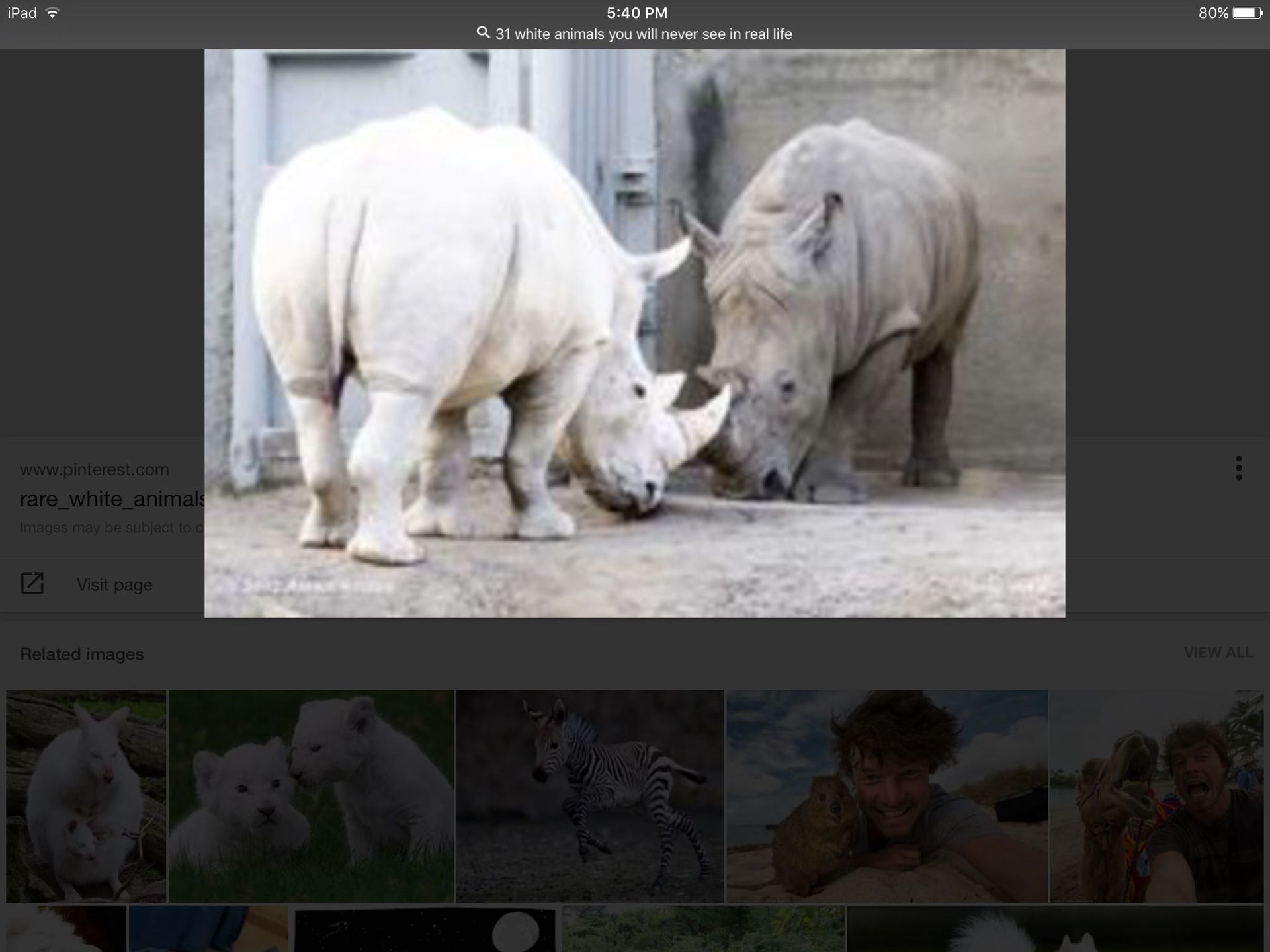 Albino Animals Albino Rhinoceros Wattpad
