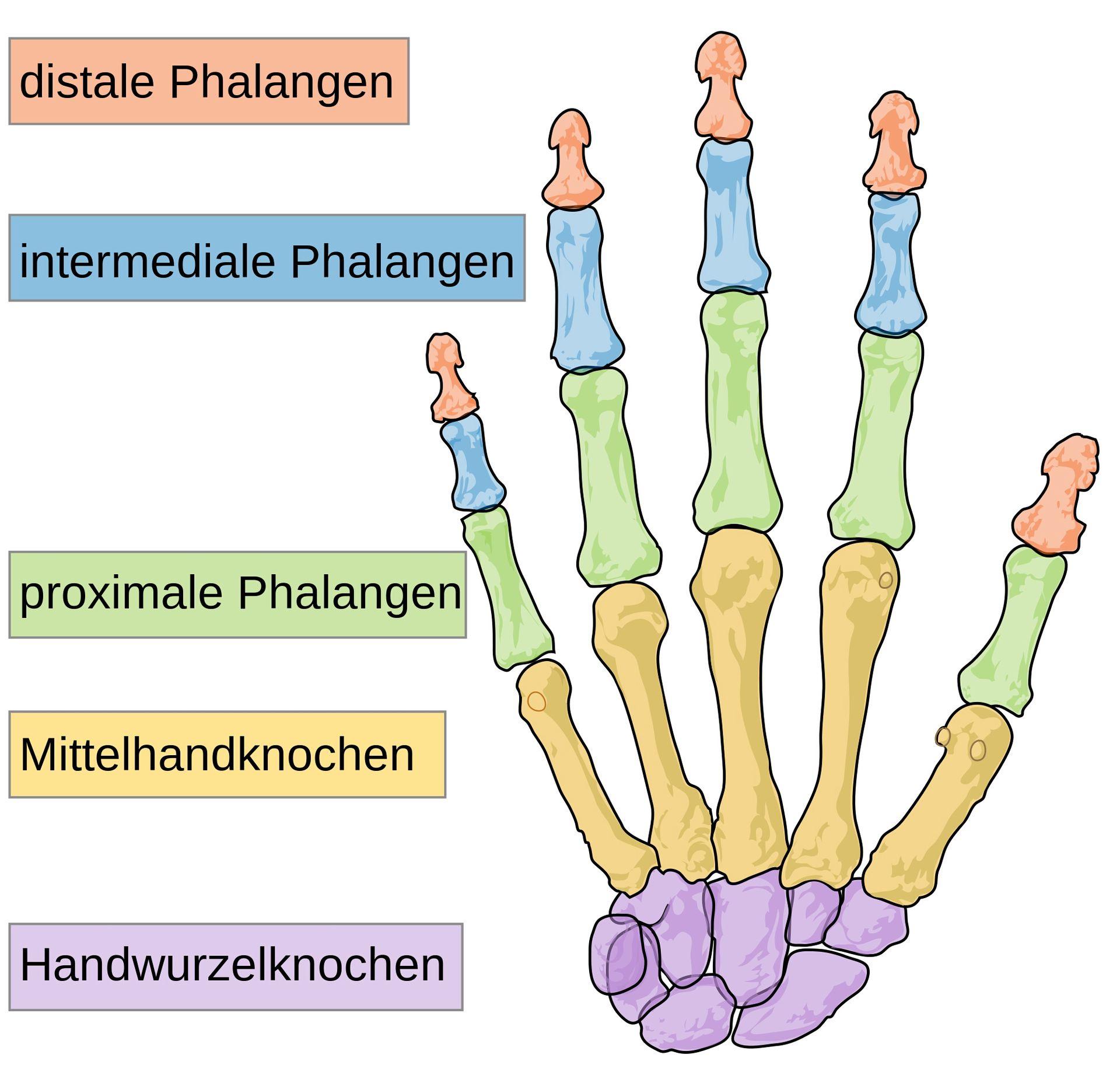 Medizinerscheiß - Anatomie der Hand (+Fakten) - Wattpad