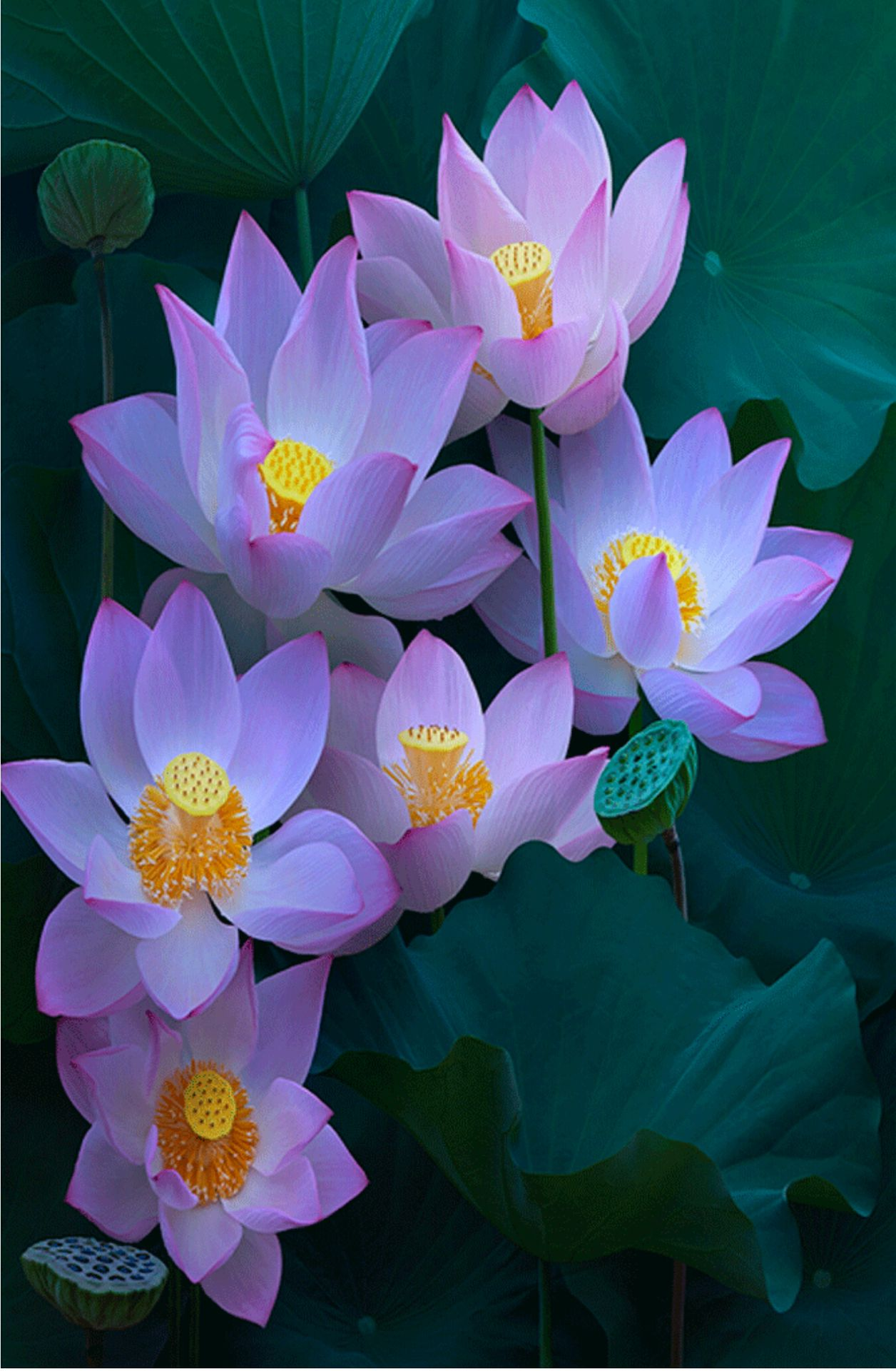 A New Era Lotus Flower Wattpad