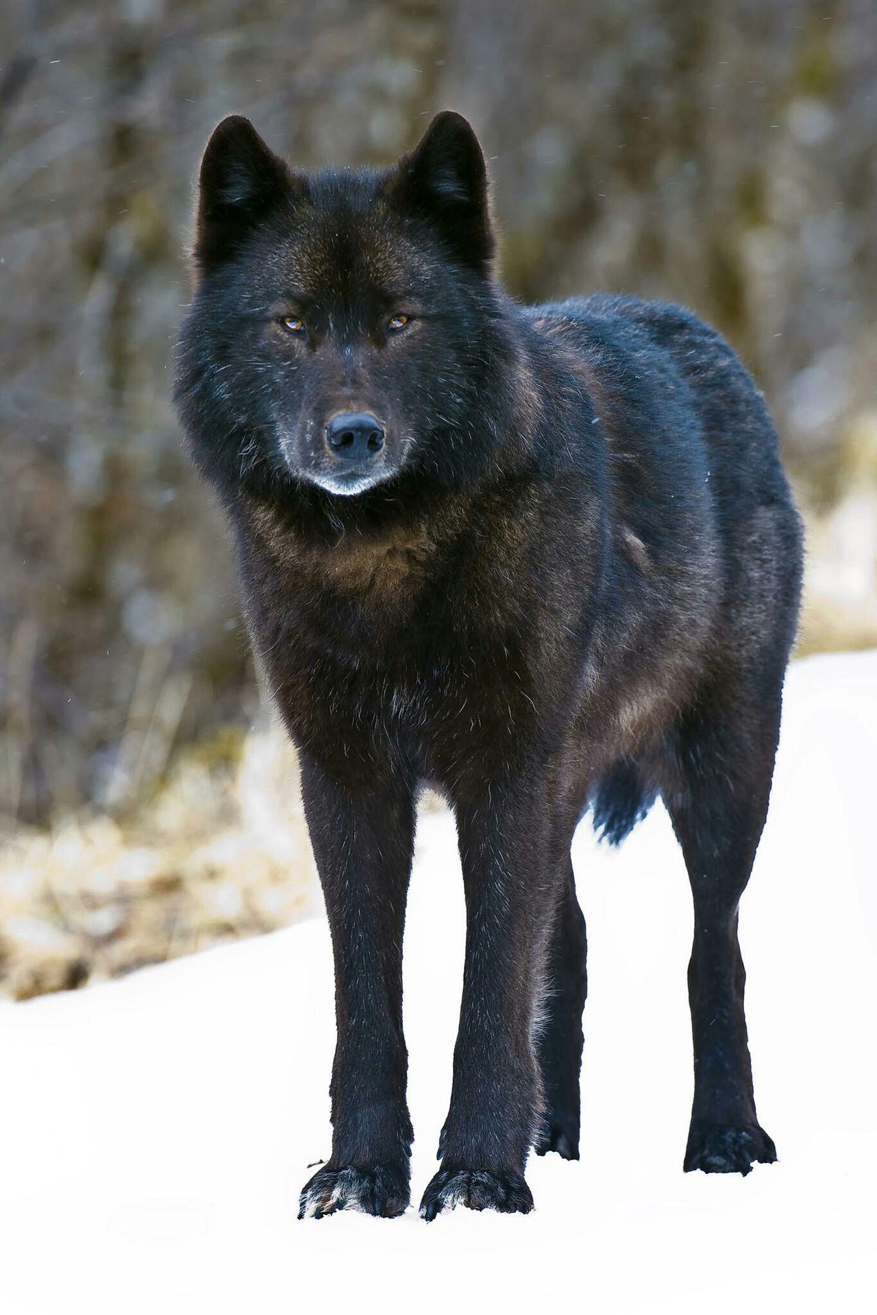 undertale x wolf pup reader  pj  wattpad