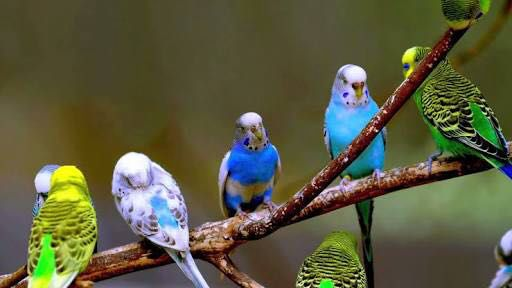 Information on all Types and Species of Birds - Budgerigars
