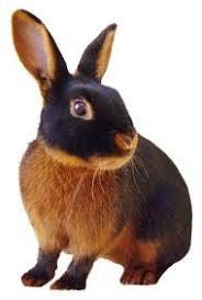 a guide to all rabbit breeds - Tan Rabbit - Wattpad