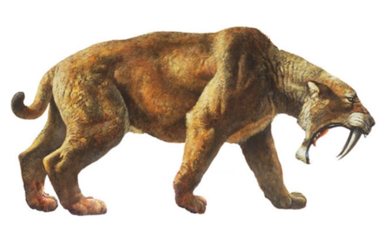 sabertooth tiger Historical background the sabertooth tiger (also spelled saber-tooth tiger, saber-toothed tiger) is the common name of genus smilodon, a predatory feline which lived in the new world between 3 million years ago and 10,000 years ago.